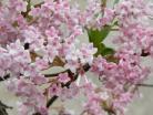 Áprilisi rózsaszín